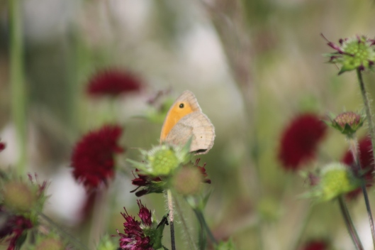 015Meadow brown butterfly