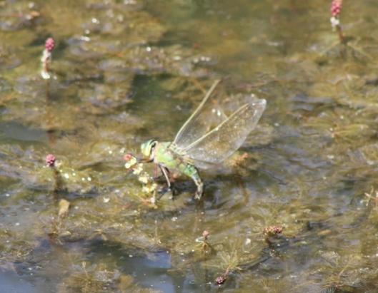 016Female emperor dragonfly (640x498)