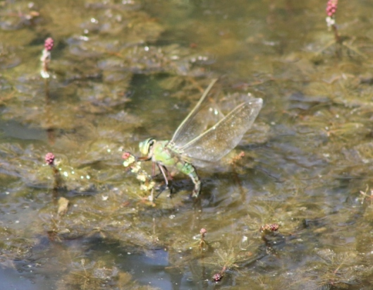 016Female emperor dragonfly (640x498)