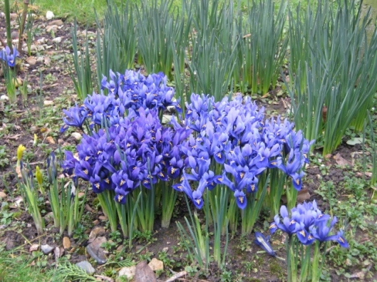017Blue and purple miniature iris (640x480)