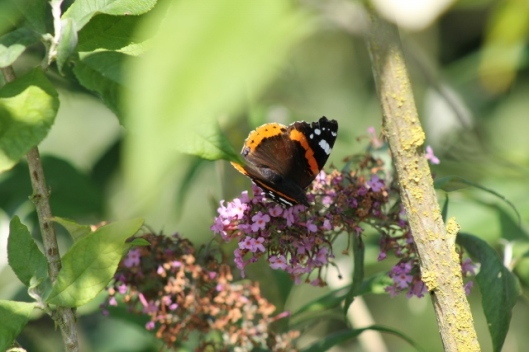 018Red admiral (640x427)