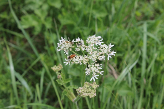019Hogweed with insects