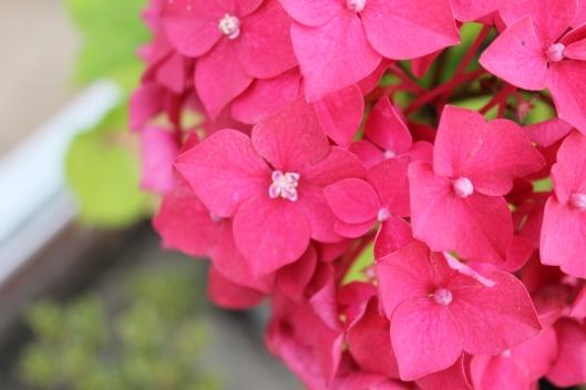 020Hydrangea flower