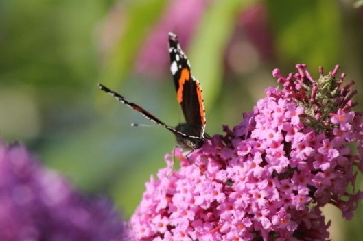 021Red Admiral (640x427)