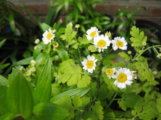 022Feverfew with blackfly