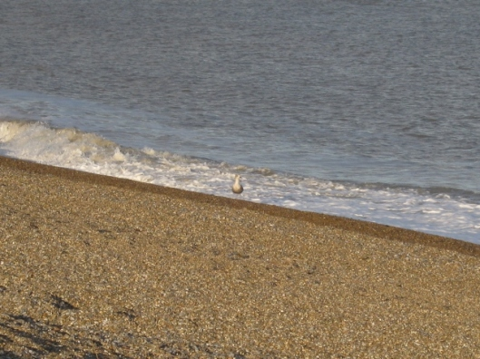 026Waves with juvenile herring gull (640x480)