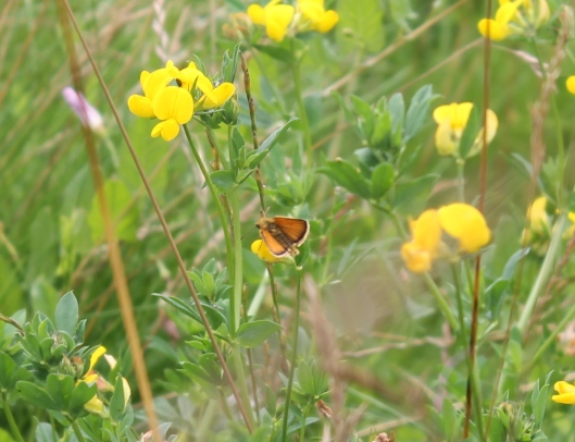 028Small or Essex Skipper on Common Bird's Foot Trefoil