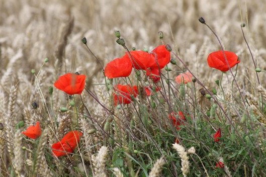 029Poppies in the wheat
