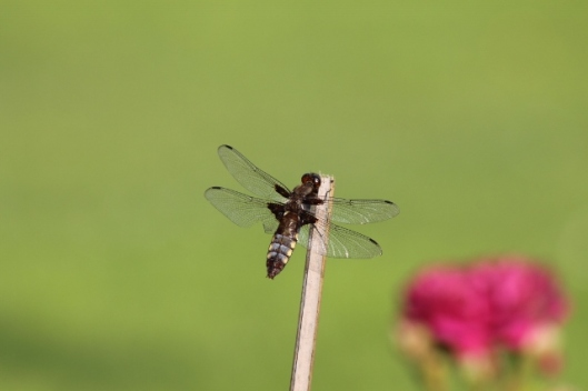 032Broad-bodied chaser (640x427)