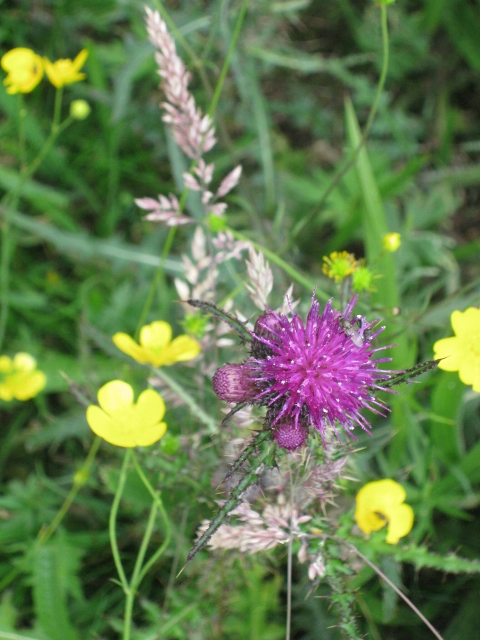 032Thistle and buttercups (480x640)