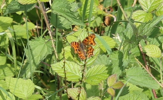 033Comma on bramble