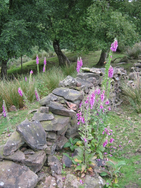 033Foxgloves and dry-stone wall (480x640)