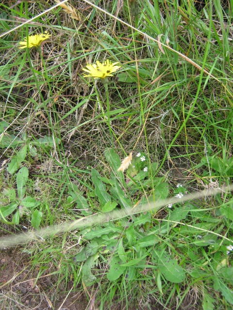 035Mouse-ear Hawkweed (480x640)