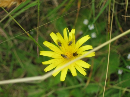 036Mouse-ear Hawkweed with flies (640x480)