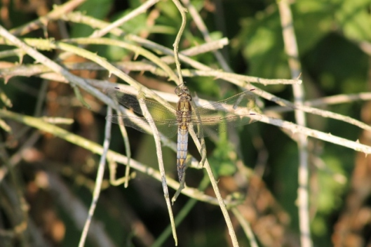 036Possibly immature m. Black-tailed skimmer (640x427)