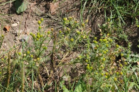 043Pineapple weed