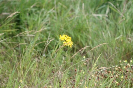 044Common ragwort