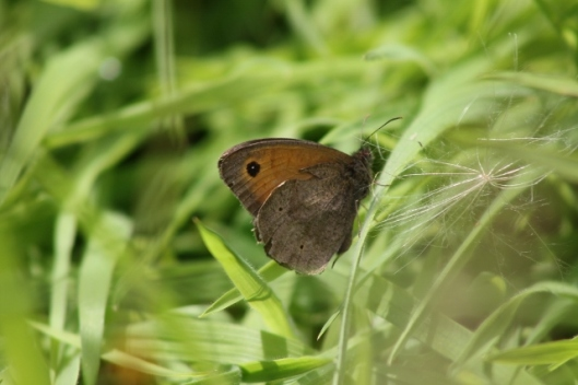 048Meadow Brown (640x427)