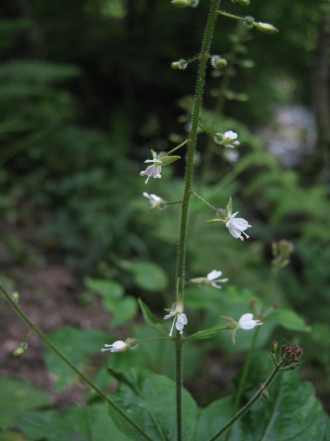053Enchanter's Nightshade (480x640)