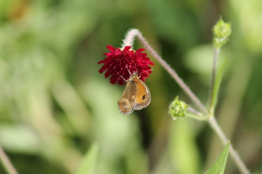 057Gatekeeper on scabious (640x427)