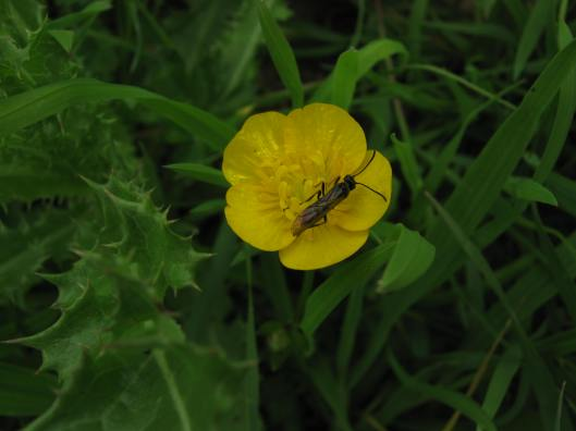 058Buttercup with beetle