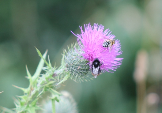 092Bees on thistle