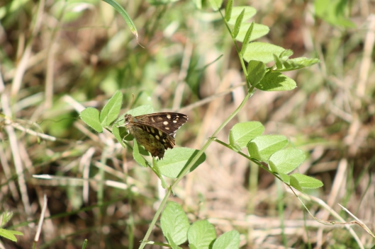 097Speckled wood