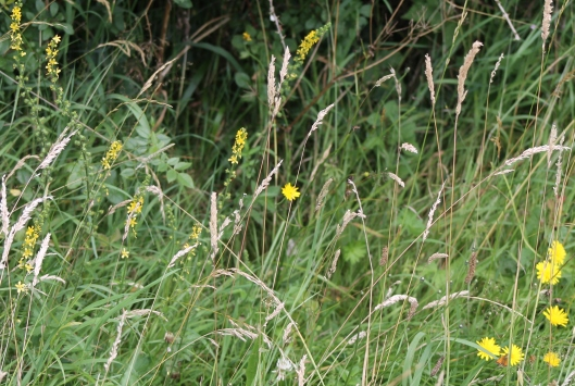 099Cat's ear and agrimony