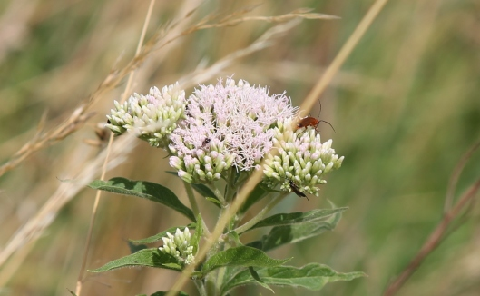101Hemp agrimony with cardinal beetle and a sawfly