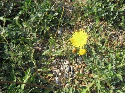 006Prickly Sow-Thistle (640x480)