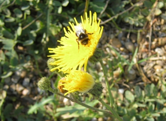 007Bee on Prickly Sow-Thistle (640x467)