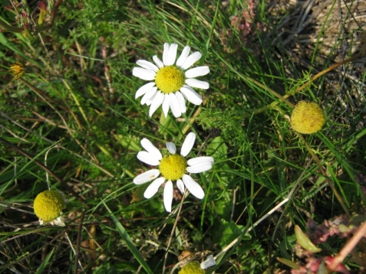 010Sea Mayweed (640x480)