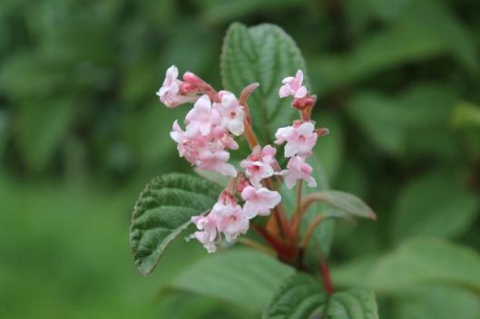 013Viburnum flowers (640x427)