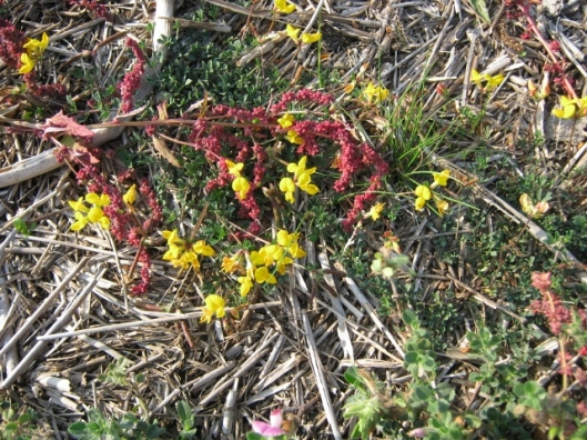 014Bird's-foot Trefoil with Dock seed-head (640x480)