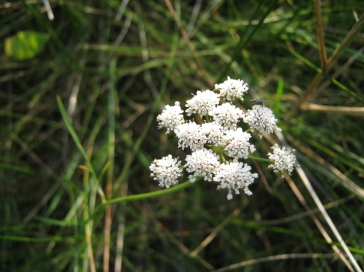 019Parsley Water-Dropwort (640x480)