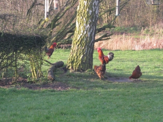 020Next door's chickens (640x480)