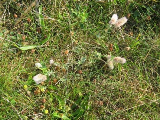 021Hare's-foot Clover with Hop Trefoil (640x480)