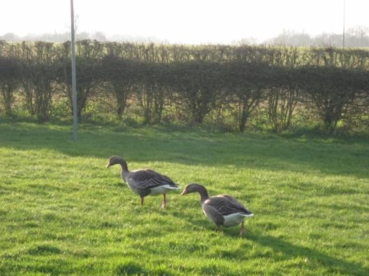 022Pair of geese in garden (640x480)