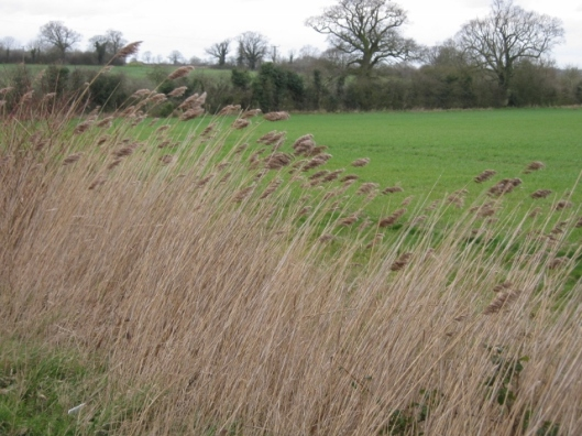 033Common reeds in ditch (640x480)