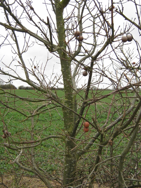 040Marble galls in hedgerow (480x640)