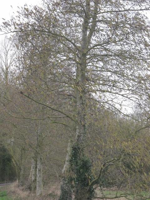 046Italian alder trees (480x640)