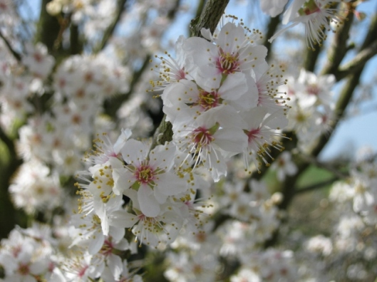 003Blackthorn blossom (640x480)