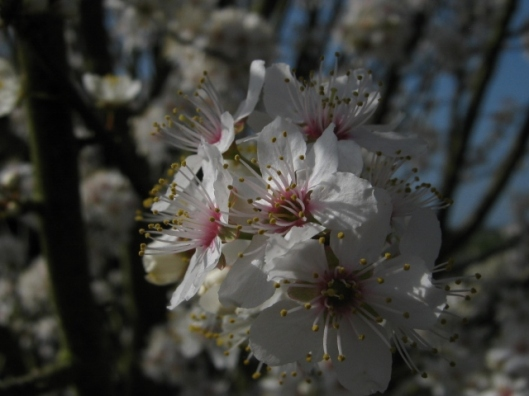 004Blackthorn blossom (640x480)
