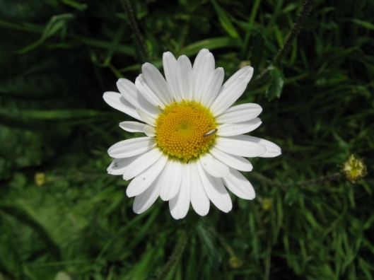 004Ox-eye Daisy (640x480)