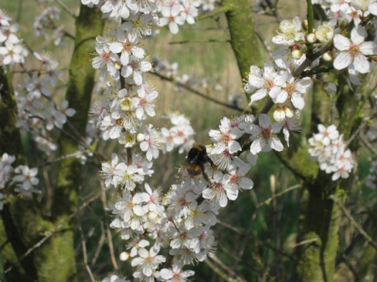 006Bumble bee on blackthorn (640x480)