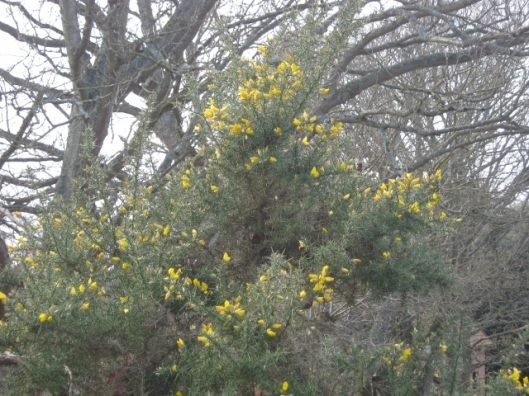 006Gorse in flower, Minsmere (640x480)