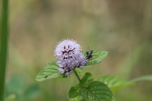 006Water mint flower with fly (640x427)