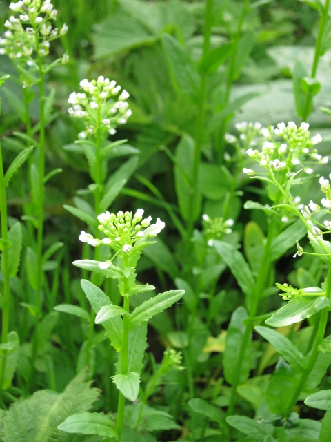011Field Pennycress (480x640)