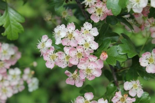 012Hawthorn flowers (640x427)