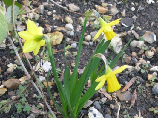 015Miniature daffodils (640x480)